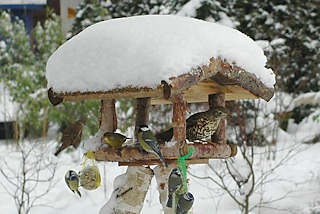 74_1002 Vogelfütterung im Winter - das Dach vom Vogelhaus ist mit hohem Schnee bedeckt. Meisen hängen an den Meisenknödeln und Fettnüssen und fressen die spezielle Winternahrung; Ein Spatz setzt zur Landung an, während eine Drossel und ein Grünfink im Futterhaus sitzen. Wintermotive aus